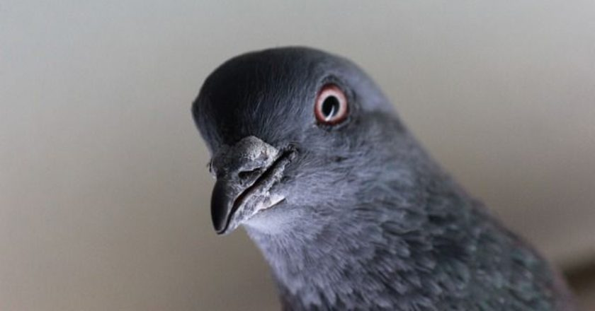 pidgeon-peristeri-pouli