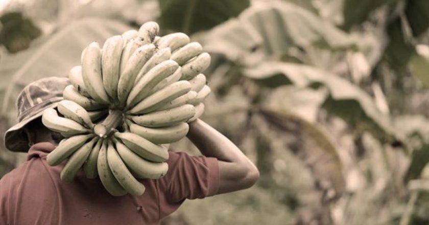 bananes-banania-paragwgi-bananas