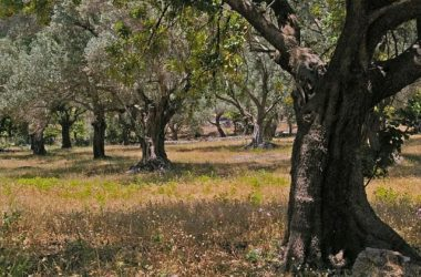 elia-dentro-fysi-olive-tree