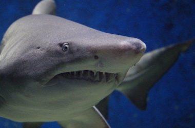 Karxarias-shark-du-du-doo-doo-thalassa-psari-nero
