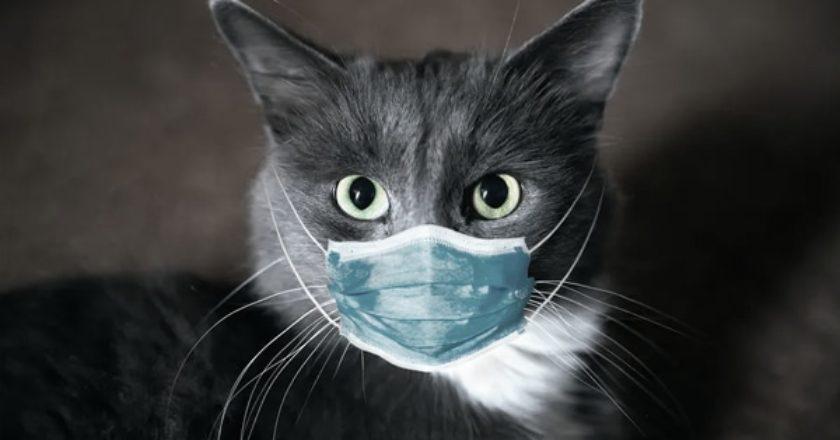 γάτα με μάσκα για κορωνοϊό