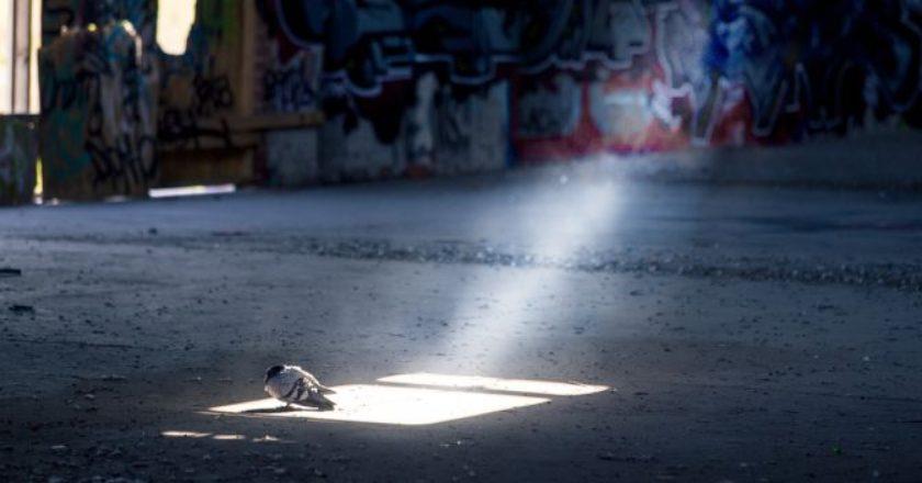 περιστέρι μόνο του, μοναξιά, πουλί, απομόνωση